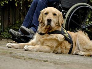 perros de servicio para discapacidad chica